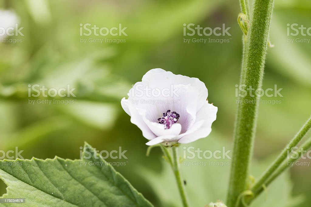 marsh mallow plant or Althaea officinalis stock photo