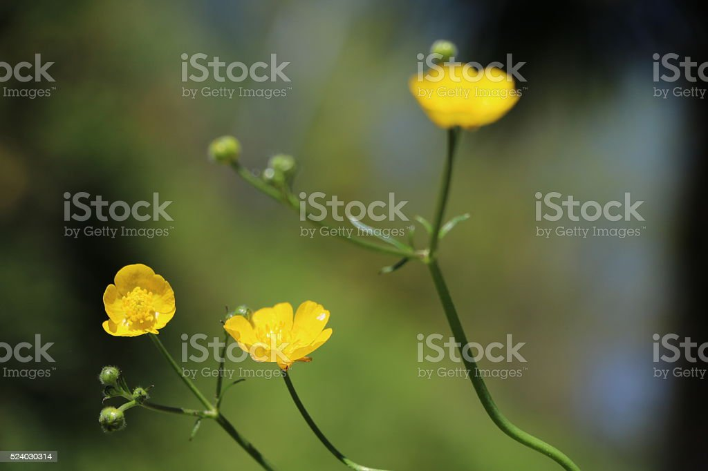 Marsh marigold buttercup in spring stock photo