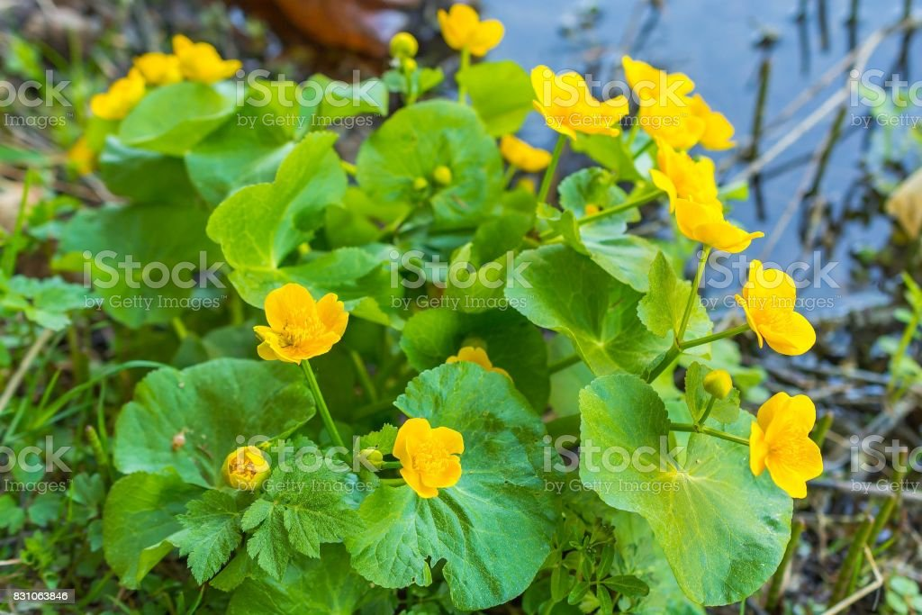 Marsh Marigold - Caltha palustris, yellow flowers stock photo