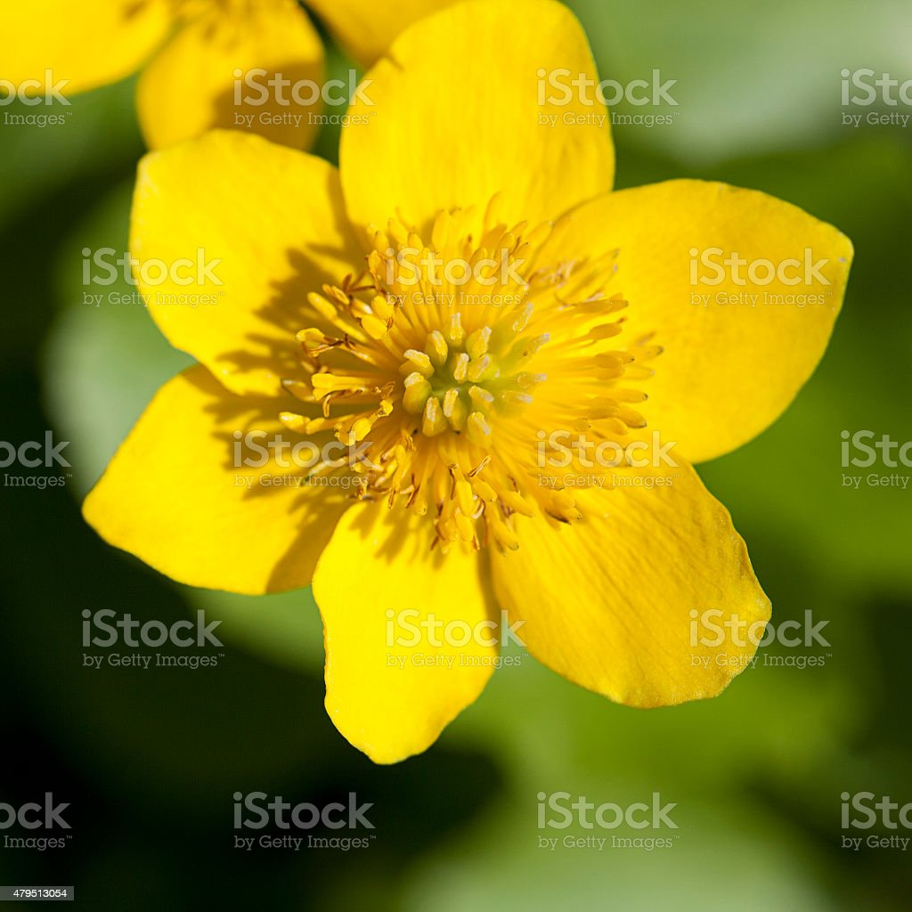 Marsh Marigold; close-up of flower stock photo