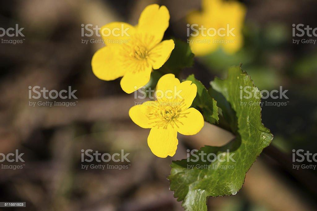 Marsh Marigold stock photo