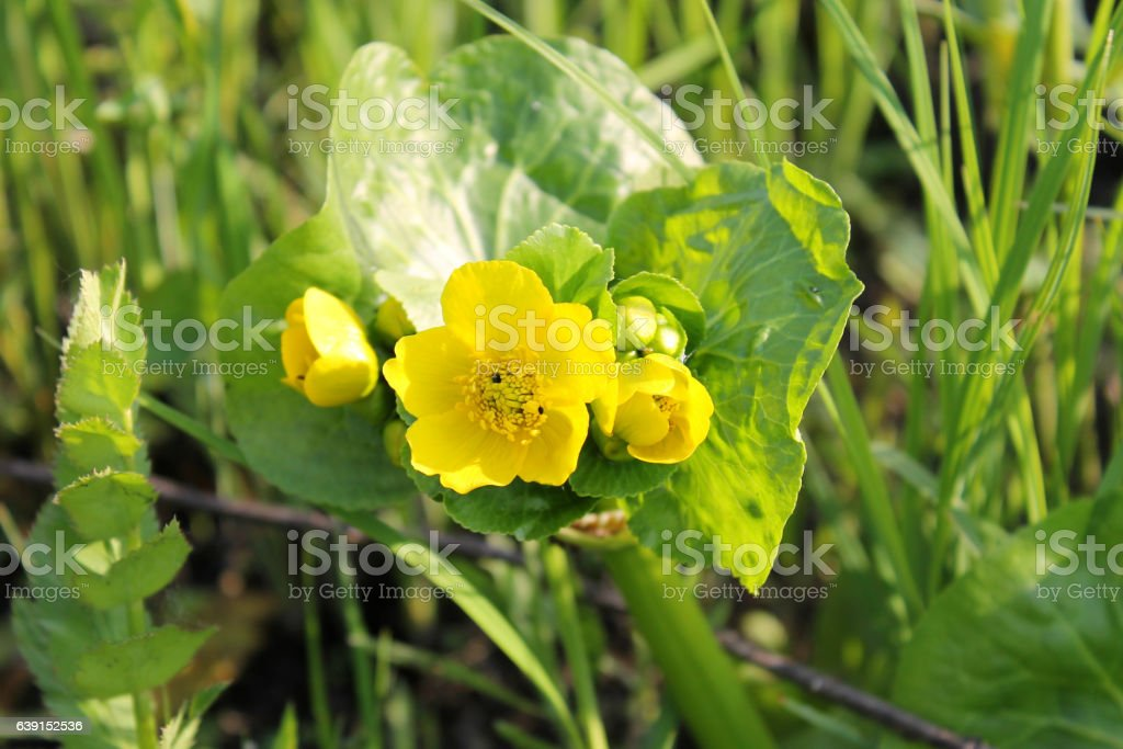 Marsh Marigold (Caltha palustris) stock photo