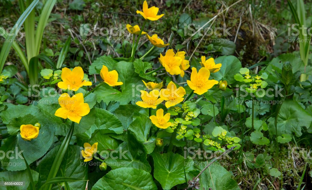 Marsh marigold yellow flowers on the grass, beautiful spring flowers stock photo