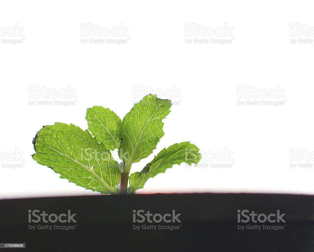 Marsh Mint stock photo