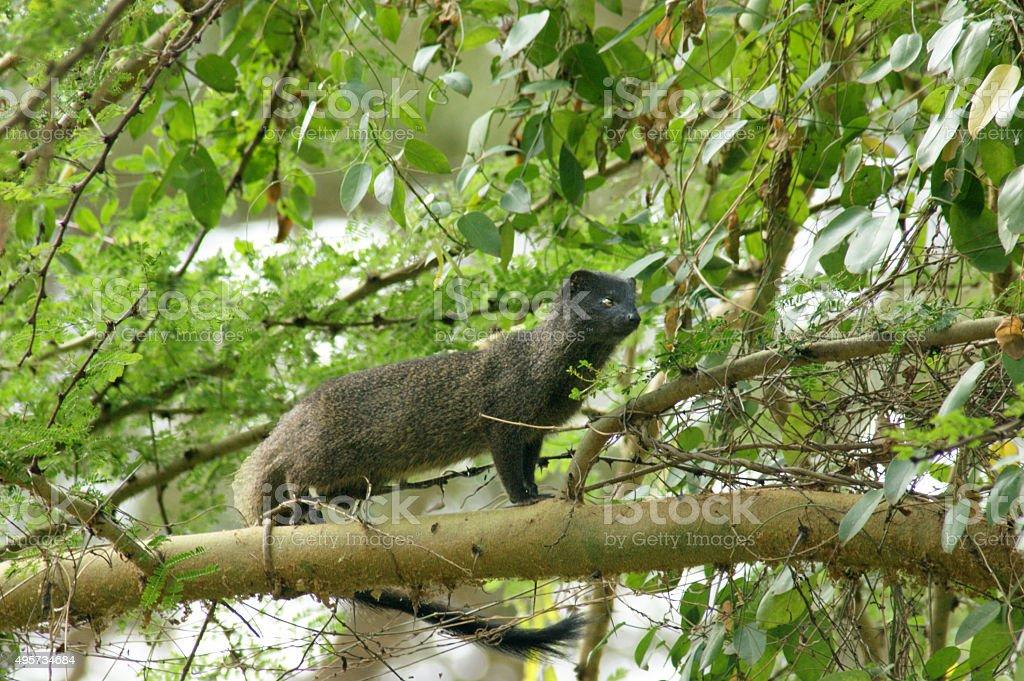 Marsh mongoose stock photo