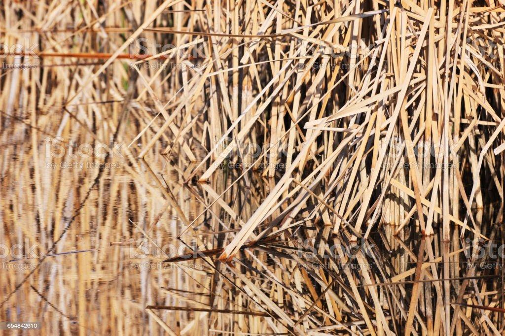 Marsh Reed Bulrushes Typha latifolia Pond Reflection stock photo