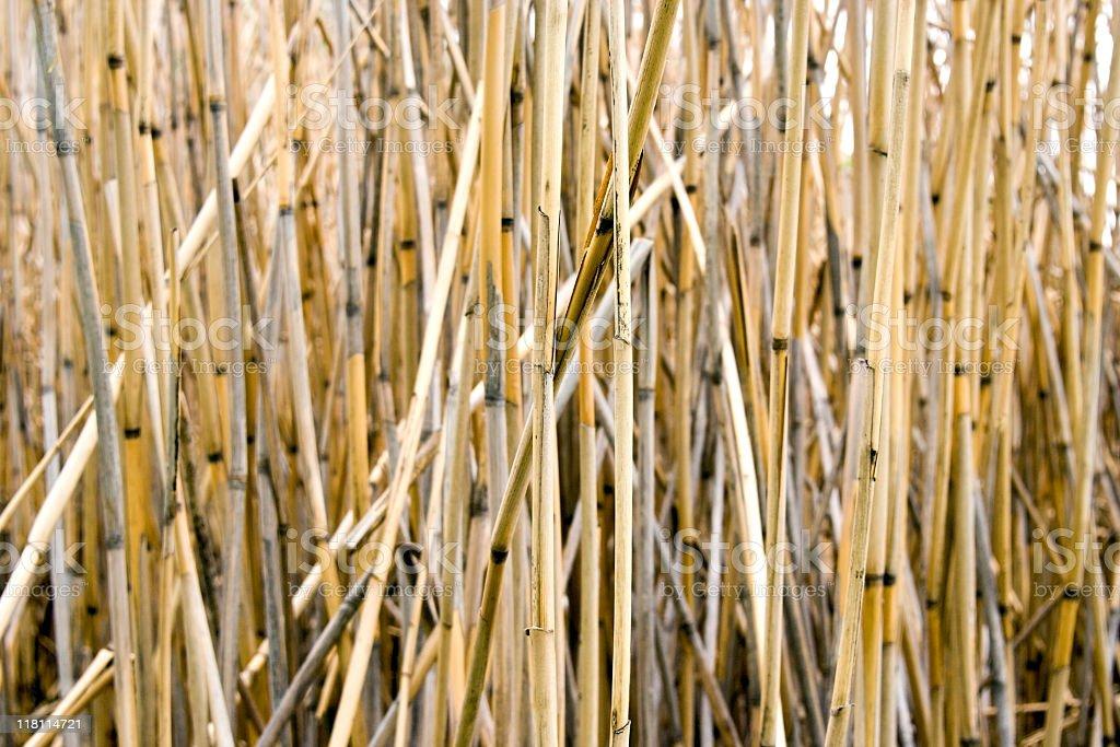 Marsh Reeds royalty-free stock photo