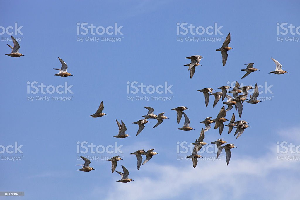 Marsh sandpiper brids in flight royalty-free stock photo
