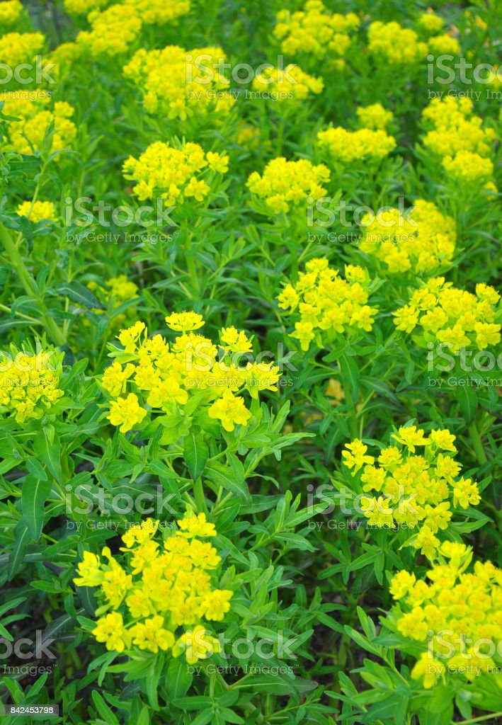 Marsh spurge (Euphorbia palustris) stock photo