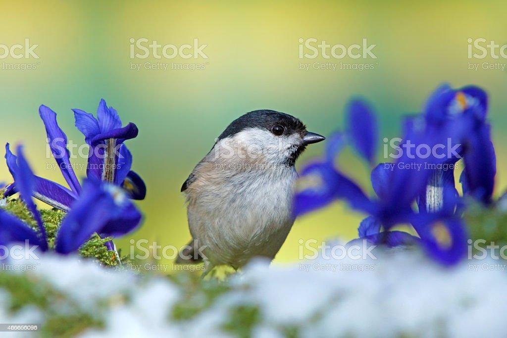 Marsh tit and iris flowers stock photo