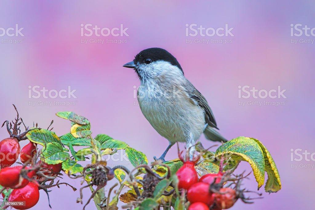Marsh tit in autumn stock photo