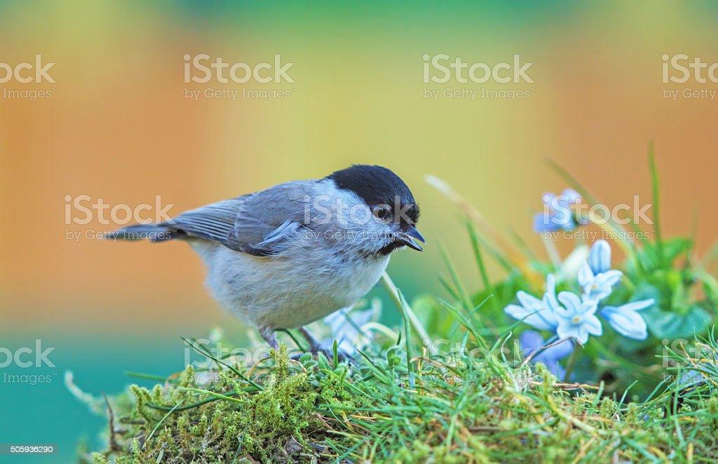 Marsh tit in springtime stock photo