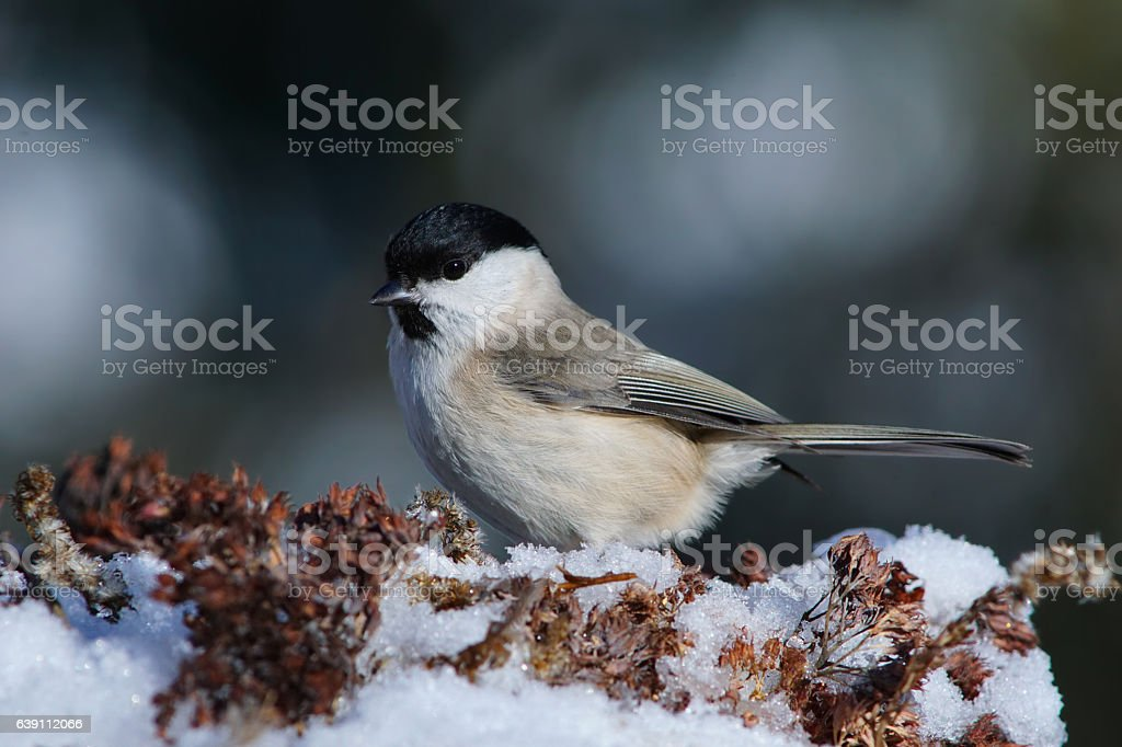 Marsh tit in winter stock photo