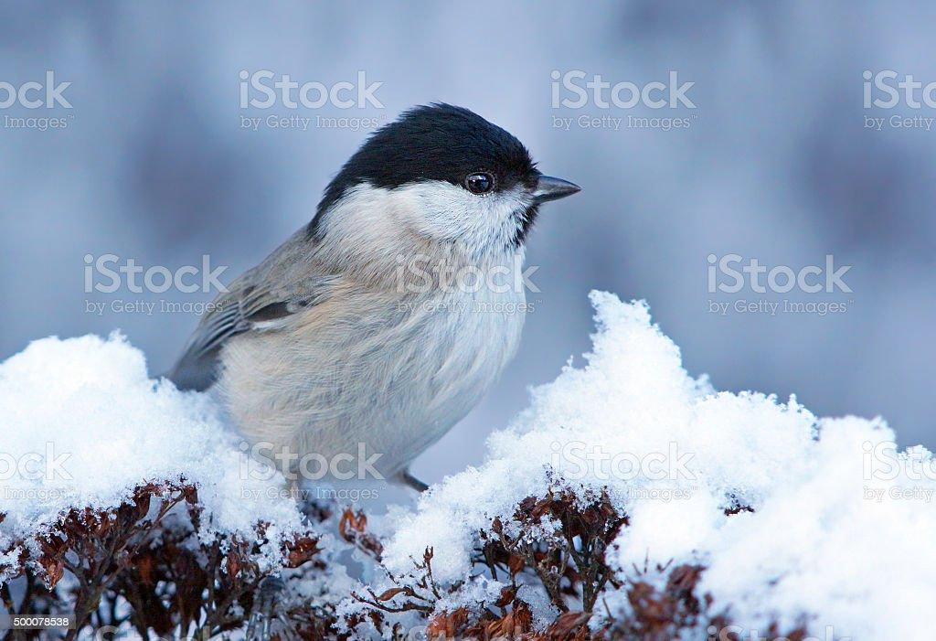 Marsh tit in wintertime stock photo