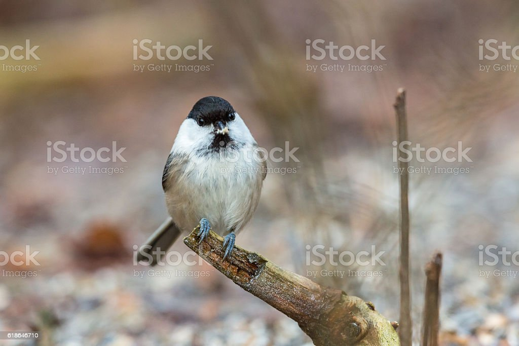 Marsh tit on a branch in the forest stock photo