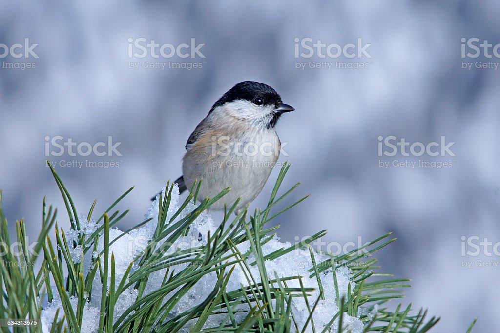 Marsh tit on a pine twig stock photo