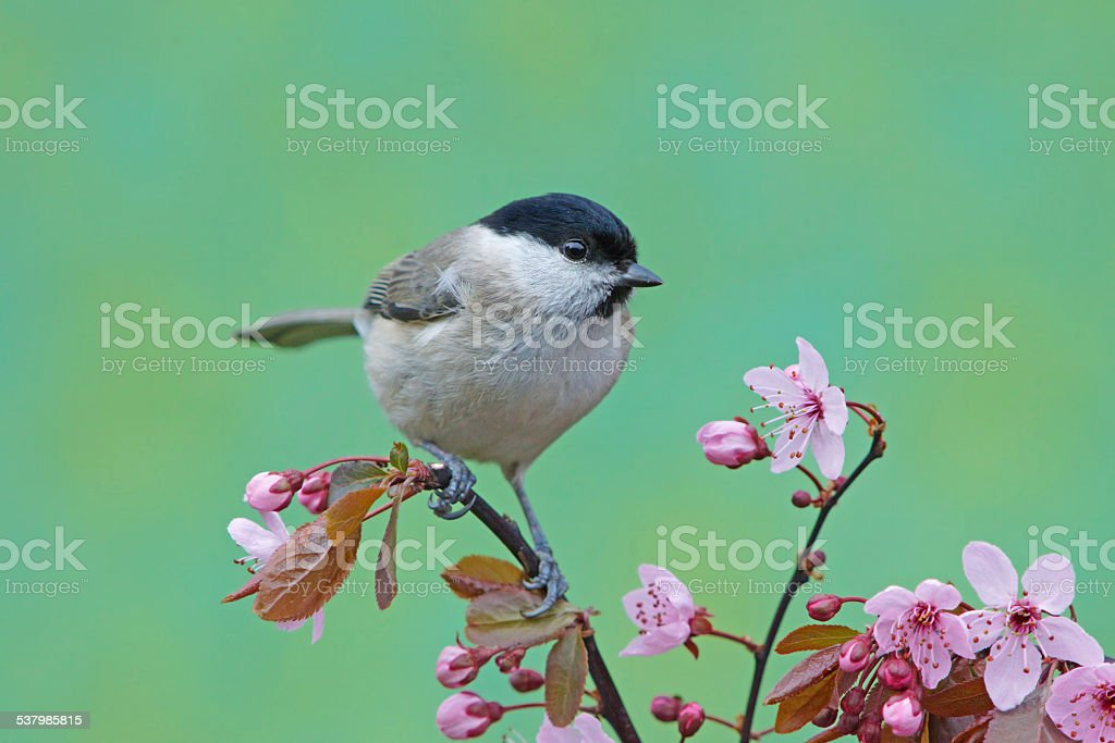 Marsh tit on blossoming twig stock photo