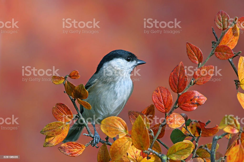 Marsh tit on cotoneaster twig stock photo