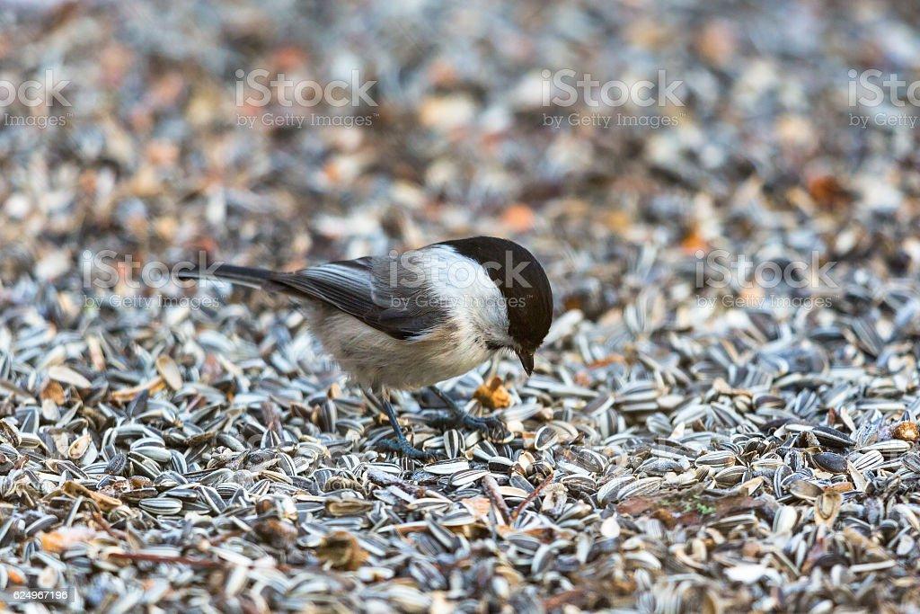 Marsh tit on ground with sunflower seeds stock photo