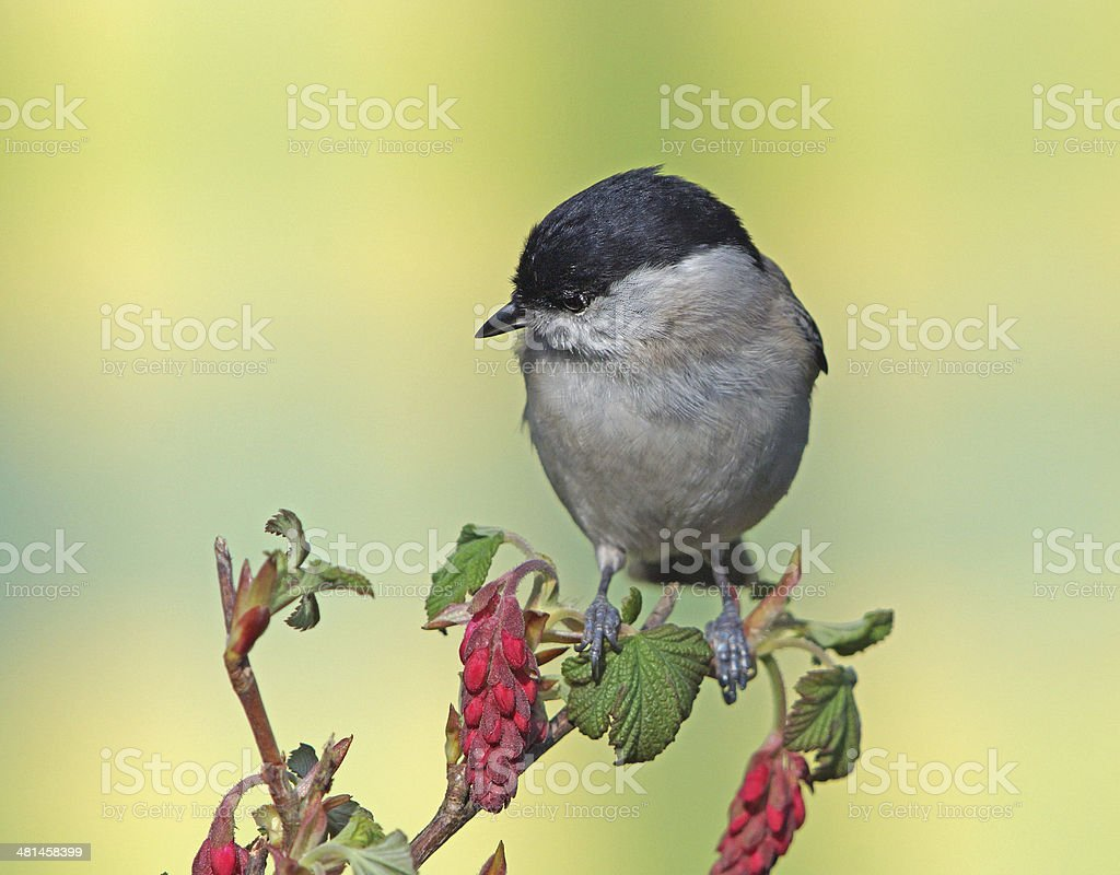 Marsh tit on ribbes sanguineum stock photo
