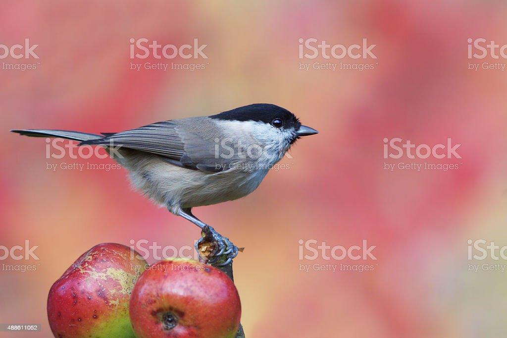 Marsh tit on wild apple stock photo