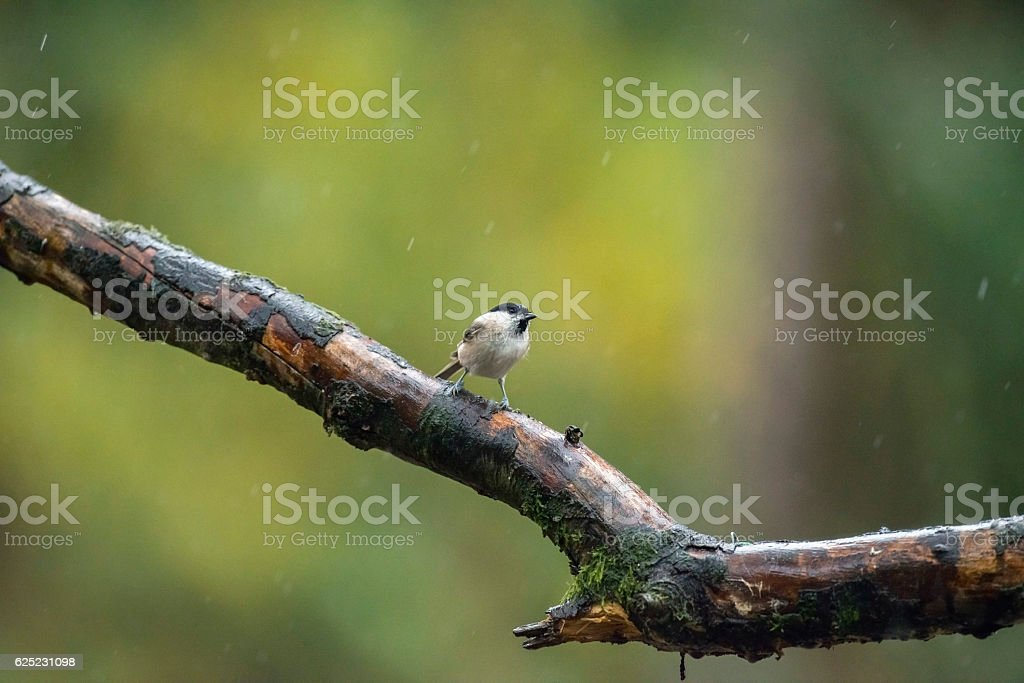 Marsh tit perching on wet branch in the rain. stock photo