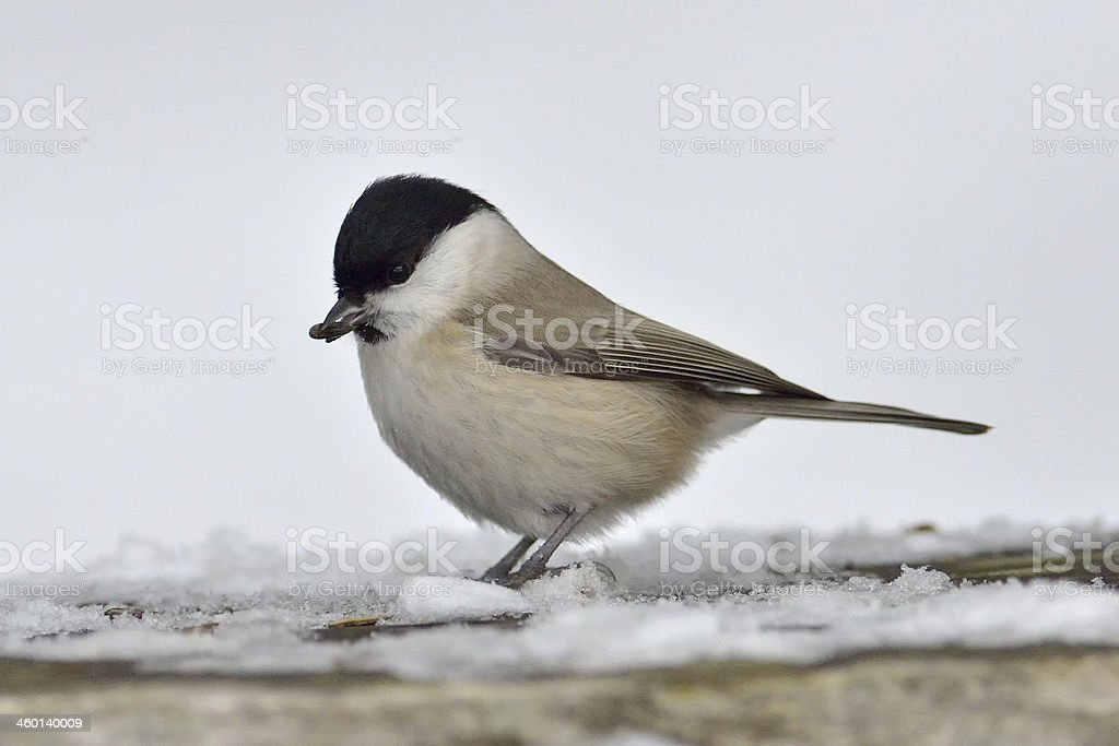 Marsh Tit  ( parus palustris ) royalty-free stock photo