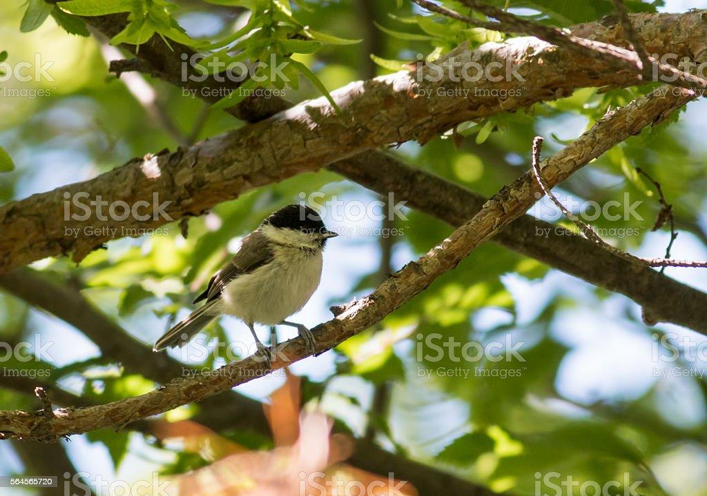 Marsh Tit (Parus palustris) stock photo