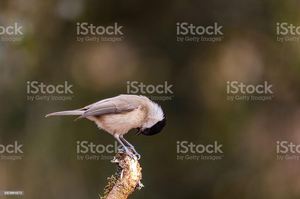 Marsh tit, Poecile palustris stock photo