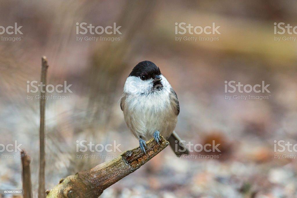 Marsh tit sitting on a tree branch stock photo