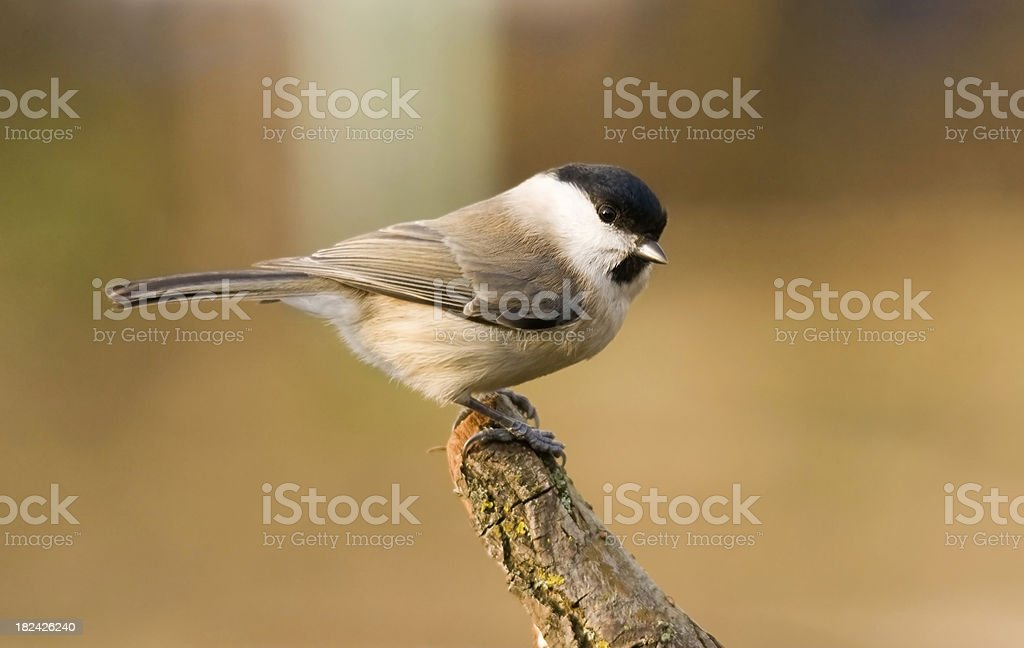 Marsh tit sitting on the branch. stock photo