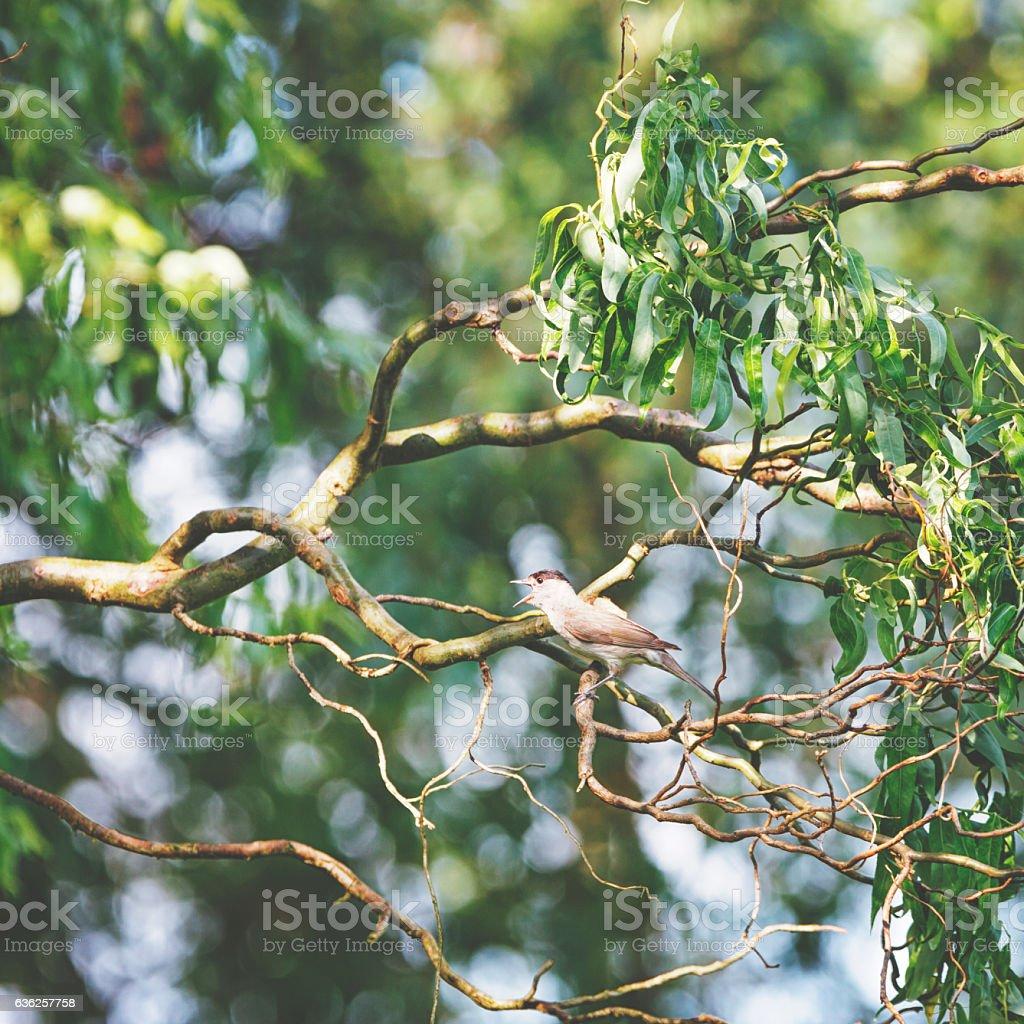 Marsh warbler [Acrocephalus in the willow tree stock photo