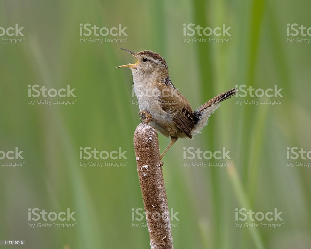 Marsh Wren doing Mating Call 8588 stock photo