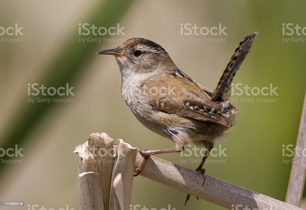 Marsh Wren stock photo