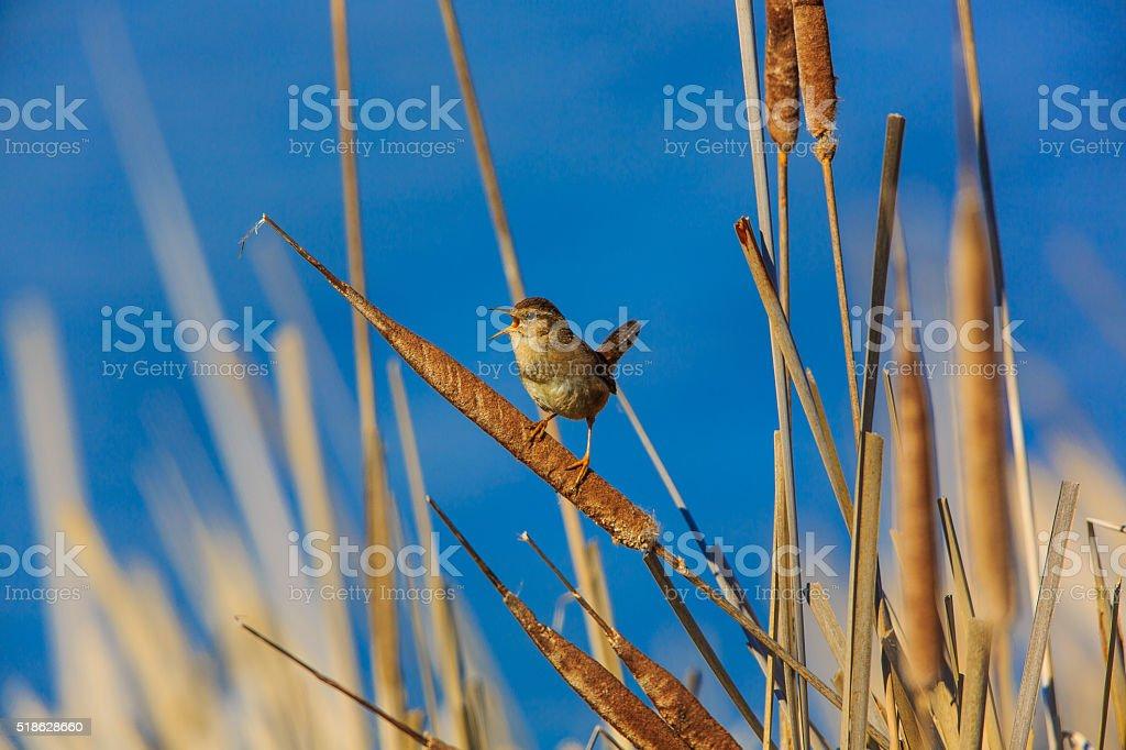 Marsh Wren (Cistothorus palustris) stock photo