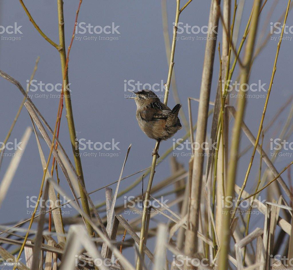 Marsh Wren royalty-free stock photo