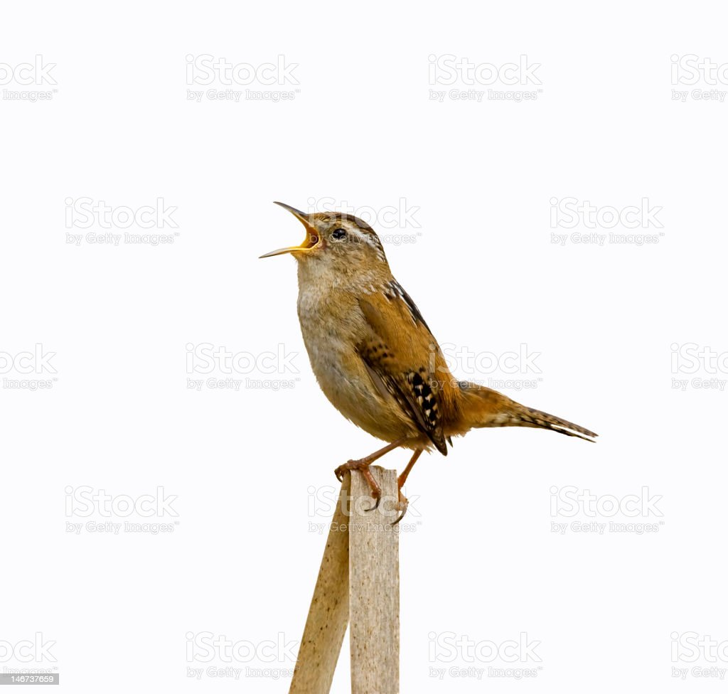 Marsh Wren Singing Isolated from Background stock photo