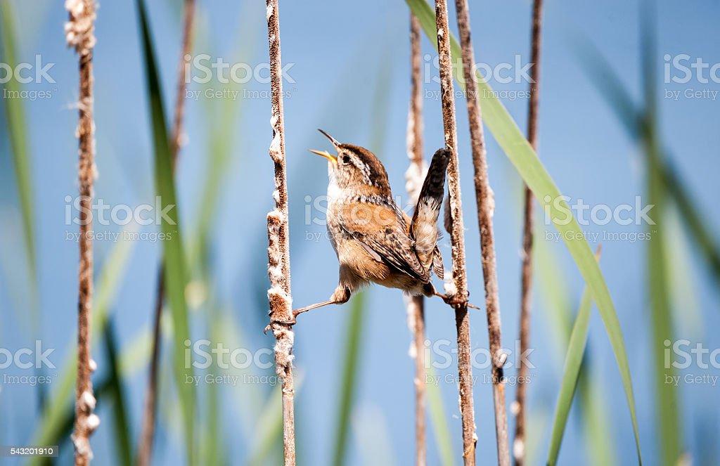 Marsh Wren singing it's heart out stock photo