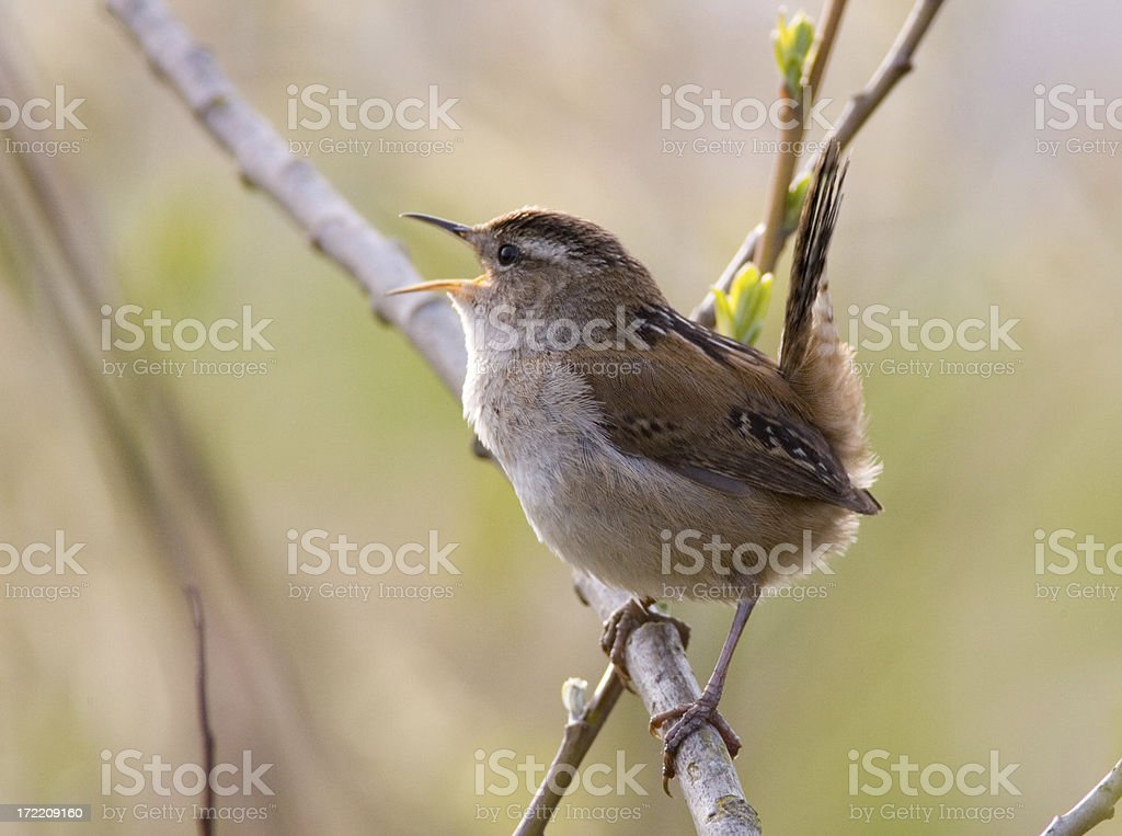 Marsh Wren with Tail Salute! stock photo