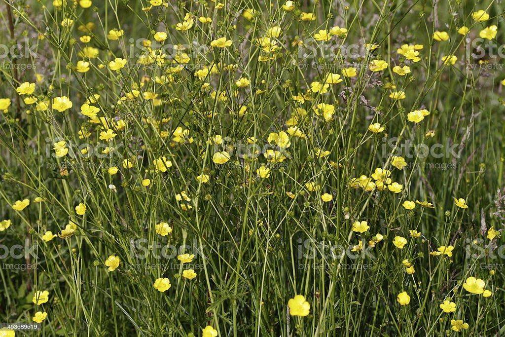Marshland lesser spearwort Ranunculus flammula royalty-free stock photo