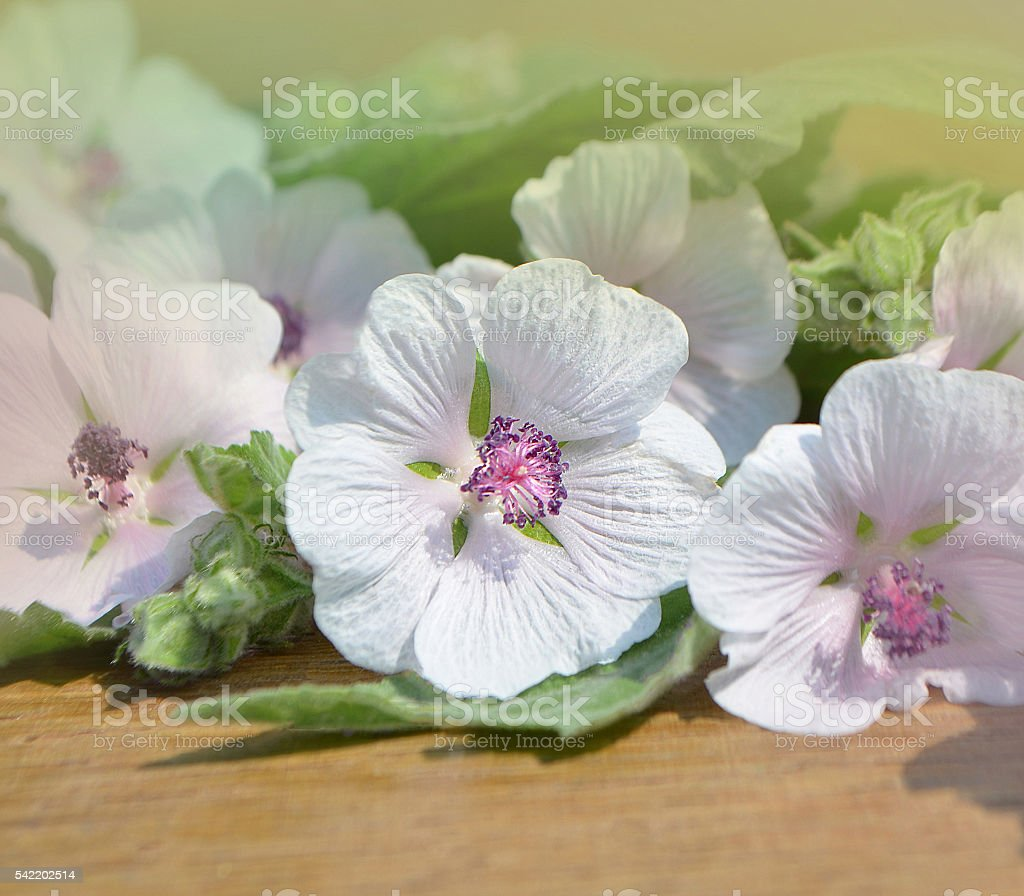 Marshmallow flower. Althaea stock photo