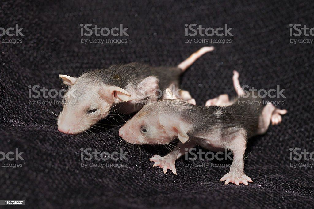 Marsupial baby opossums stock photo