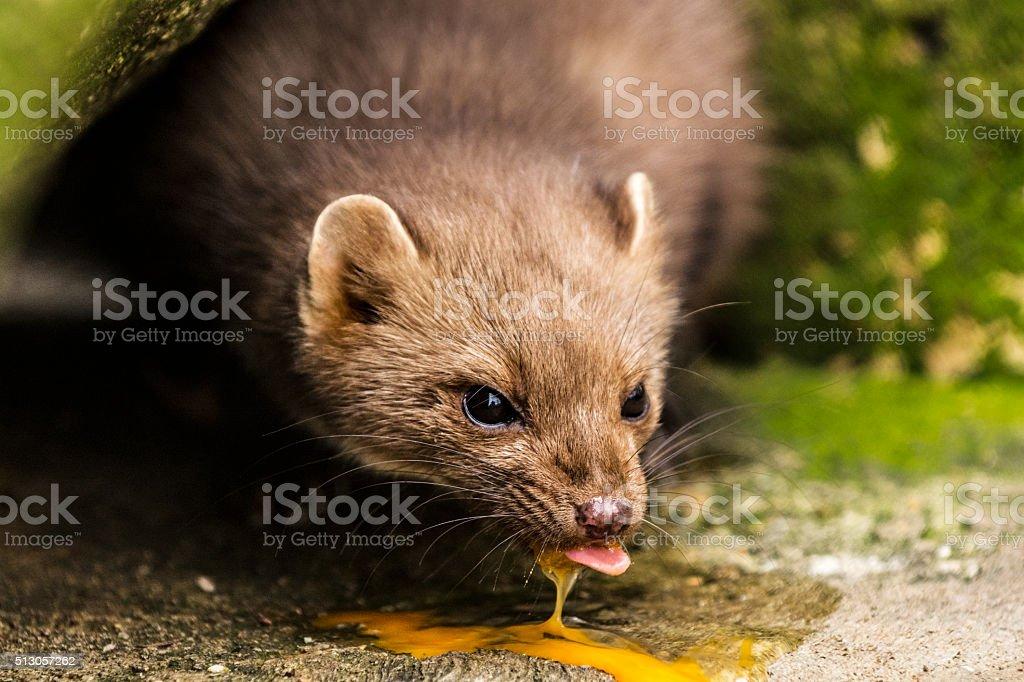 Marten eats egg in forest stock photo