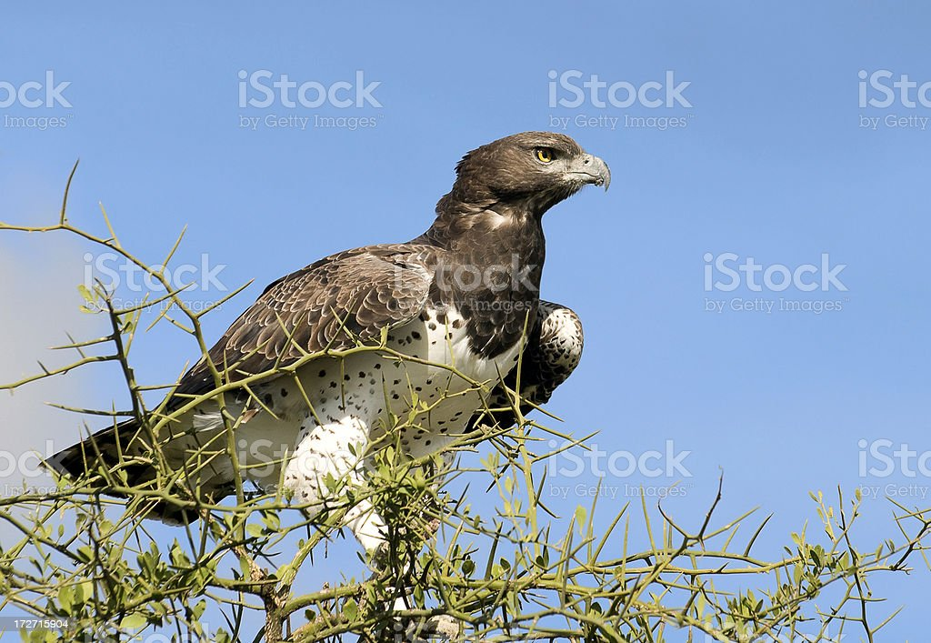 Martial Eagle Close up stock photo