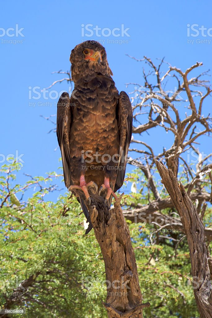 Martial Eagle in Kgalagadi Transfrontier Park, South Africa stock photo