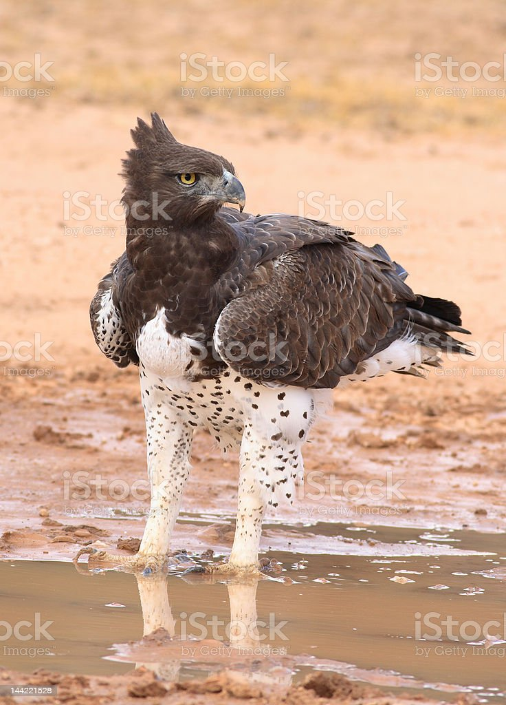 Martial Eagle (Polemaetus bellicosus) royalty-free stock photo