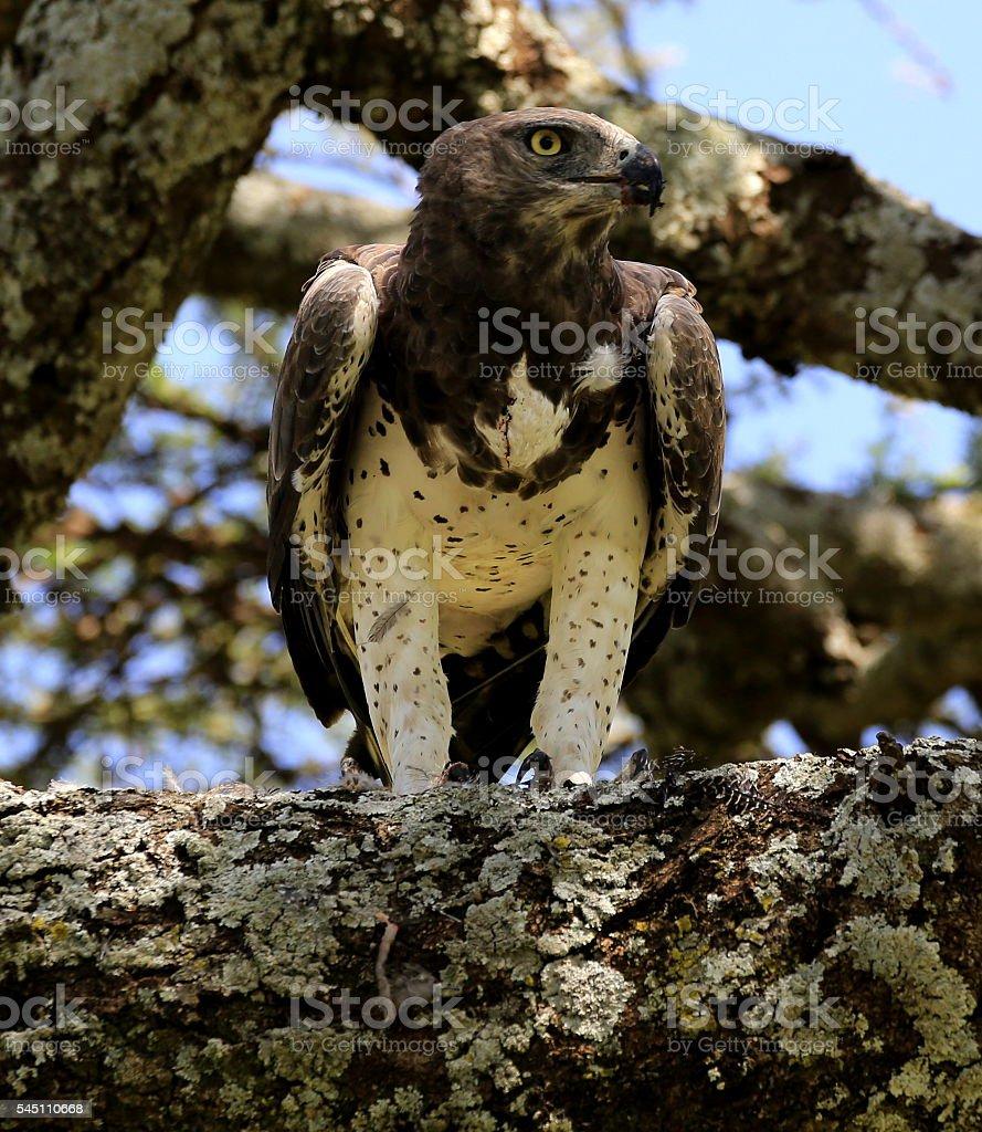 Martial eagle stock photo