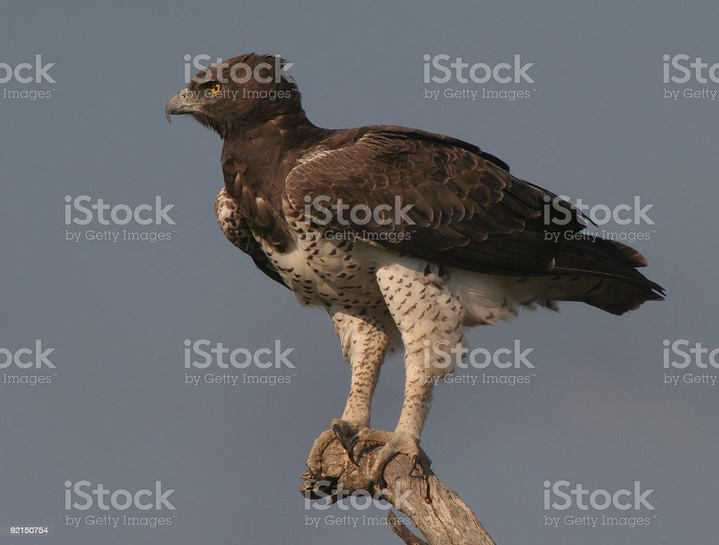 Martial Eagle royalty-free stock photo