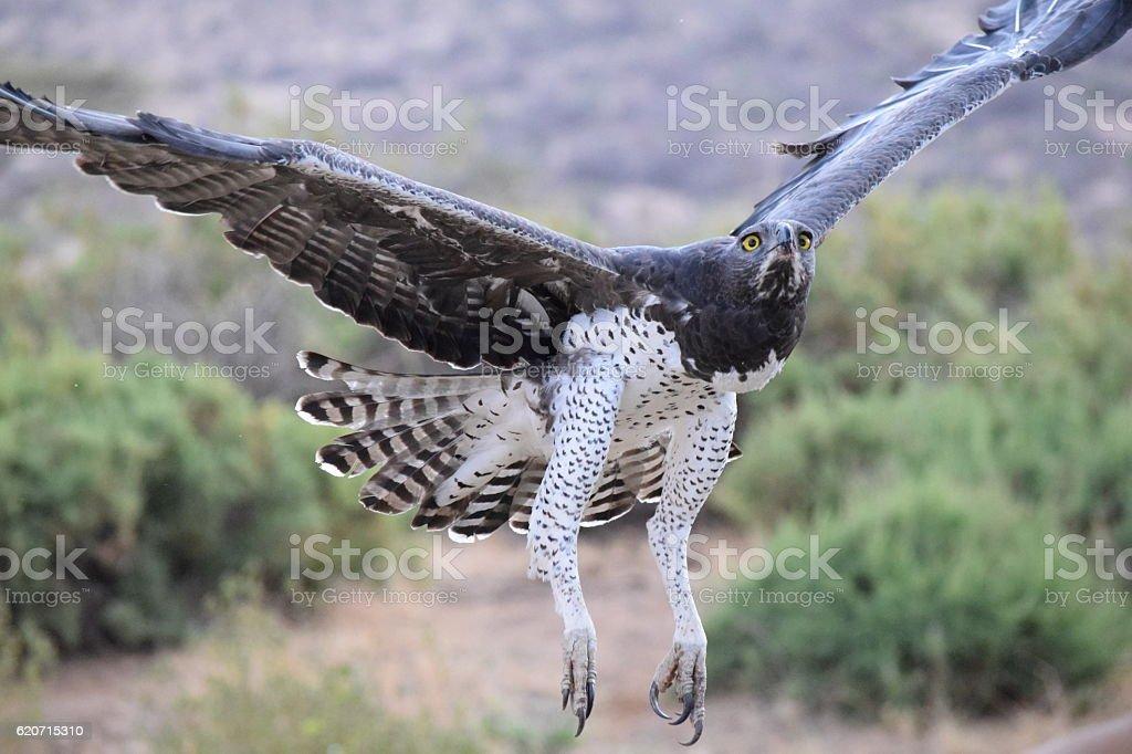 Martial Eagle - Samburu, Kenya stock photo