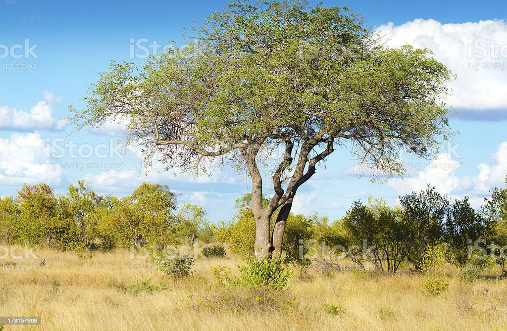Marula Tree - South Africa stock photo